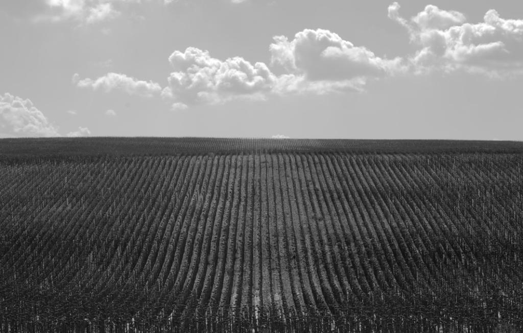 Girasoles en los Campos de Simancas